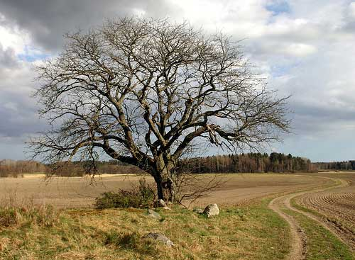 That Old Tree (Thunder Road)